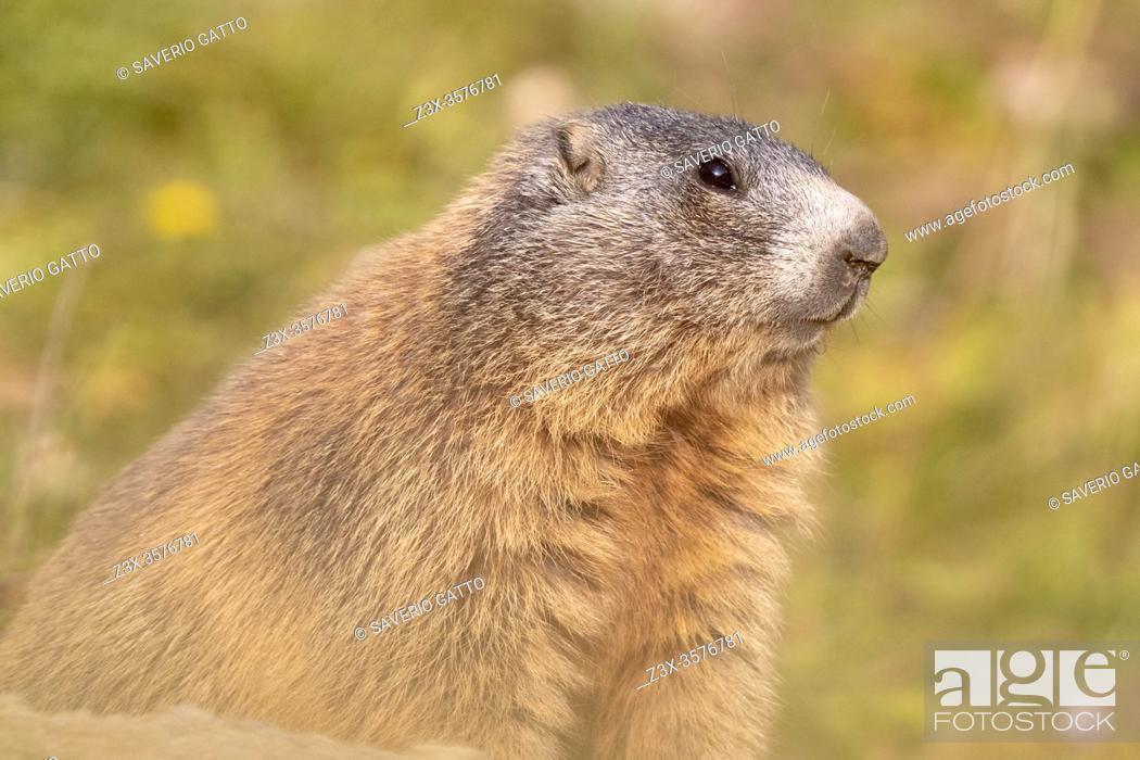 Stock Photo: Alpine Marmot (Marmota marmota), close-up of an adult, Lombardia, Italy.