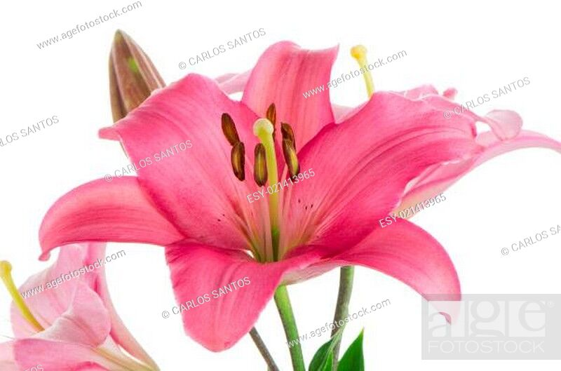 Stock Photo: Pink lilies.