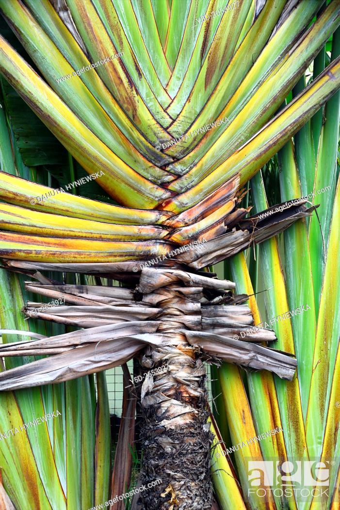 Stock Photo: Traveller's Tree or Traveller's Palm, Ravenala madagascariensis, Blue Bay, Mauritius, Africa.