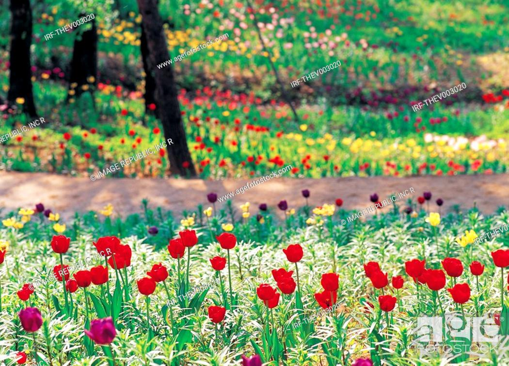 Stock Photo: flower, tulips.