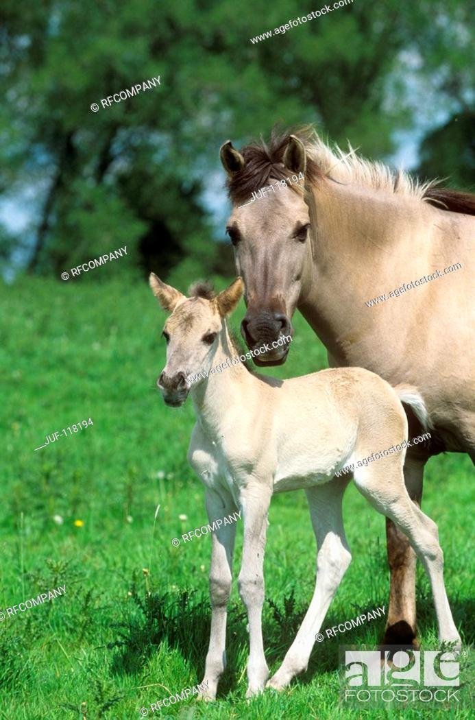 Stock Photo: Konik with foal - standing on meadow.
