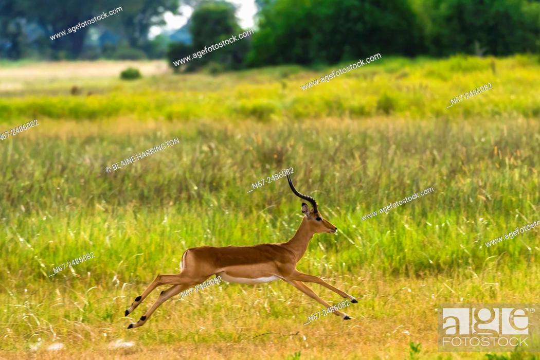 Stock Photo: An impala running, near Kwara Camp, Okavango Delta, Botswana.