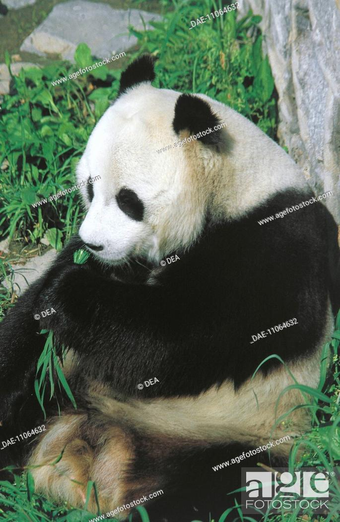 Stock Photo: ZOOLOGY: Mammals ZOO PANDA CHINA Tianjin.