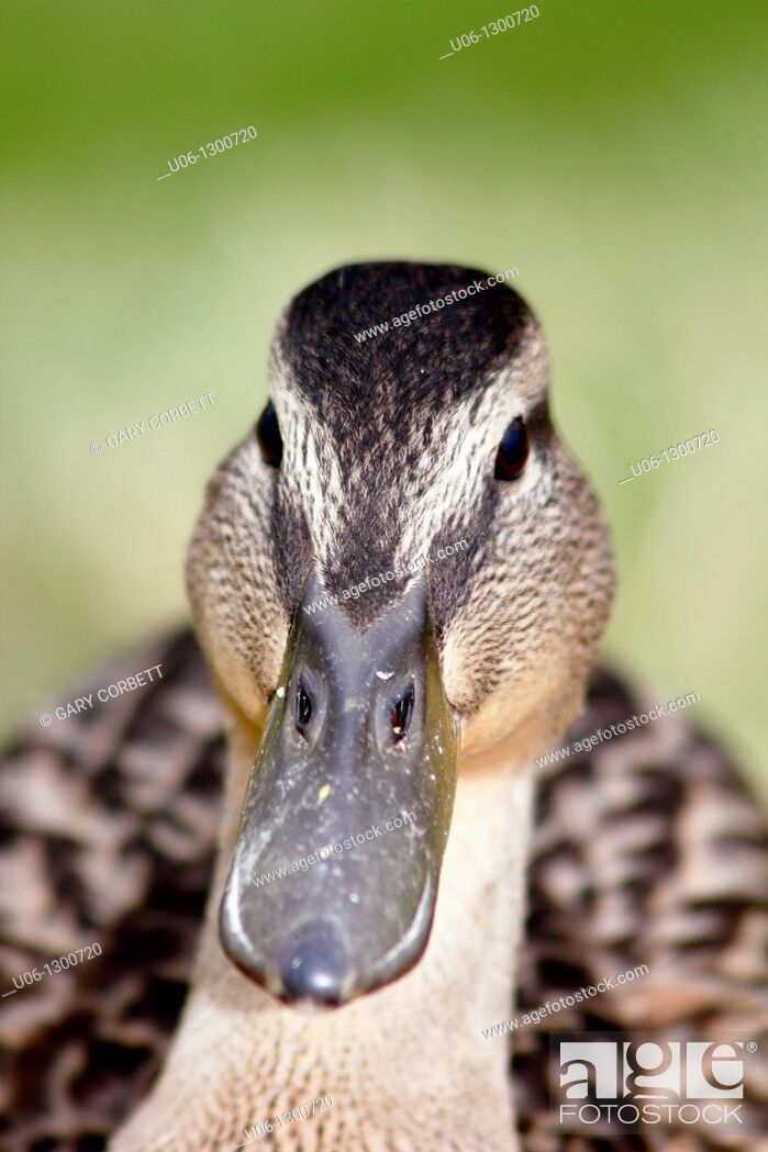 Stock Photo: Face of a black duck.