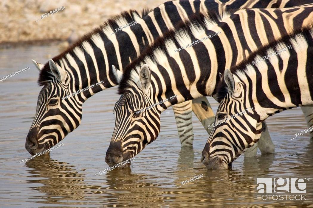 Stock Photo: Burchell's zebra (Equus Quagga) drinking water, Etocha National Park, Namibia.