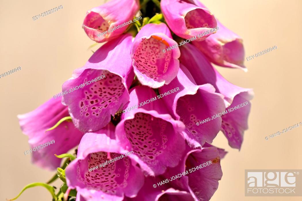 Stock Photo: Foxglove, Digitalis purpurea, medicinal herb with flower.