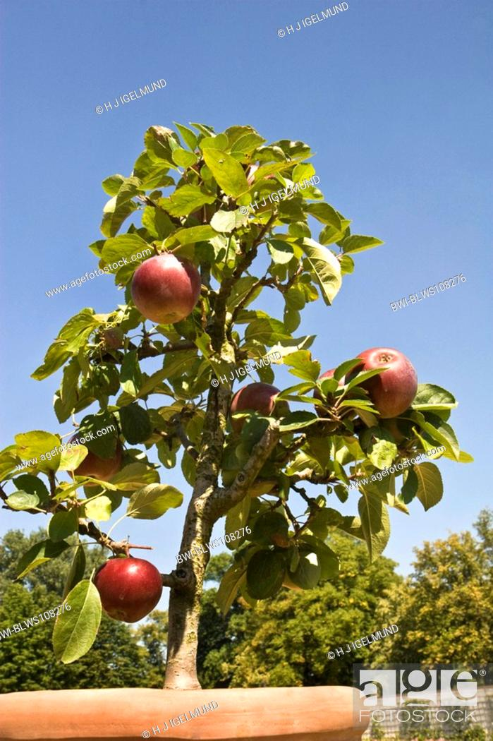 Apple Tree Malus Domestica Apple Tree In Plant Pot Germany Stock Photo Picture And Rights Managed Image Pic Bwi Blws108276 Agefotostock