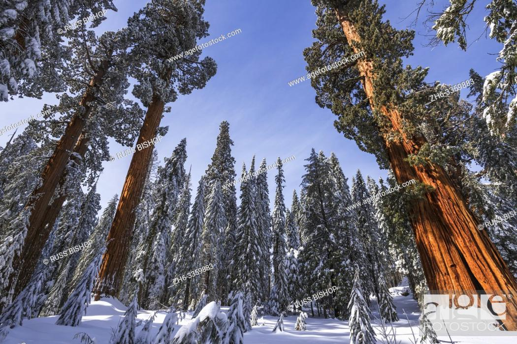 Stock Photo: Giant Sequoias in winter at Circle Meadow, Sequoia National Park, California USA.