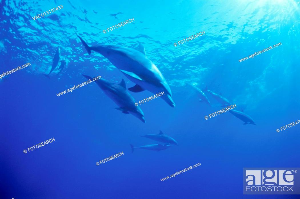 Stock Photo: Bottlenose Dolphins.