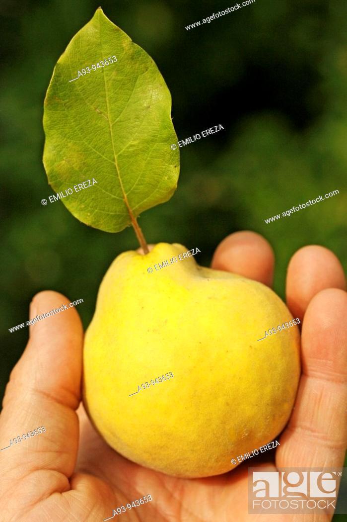 Stock Photo: Quince (Cydonia oblonga).
