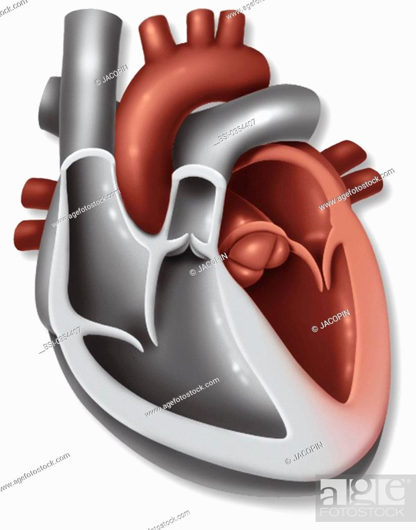 HEART, ILLUSTRATION Anatomy of the heart. Representation of the ...