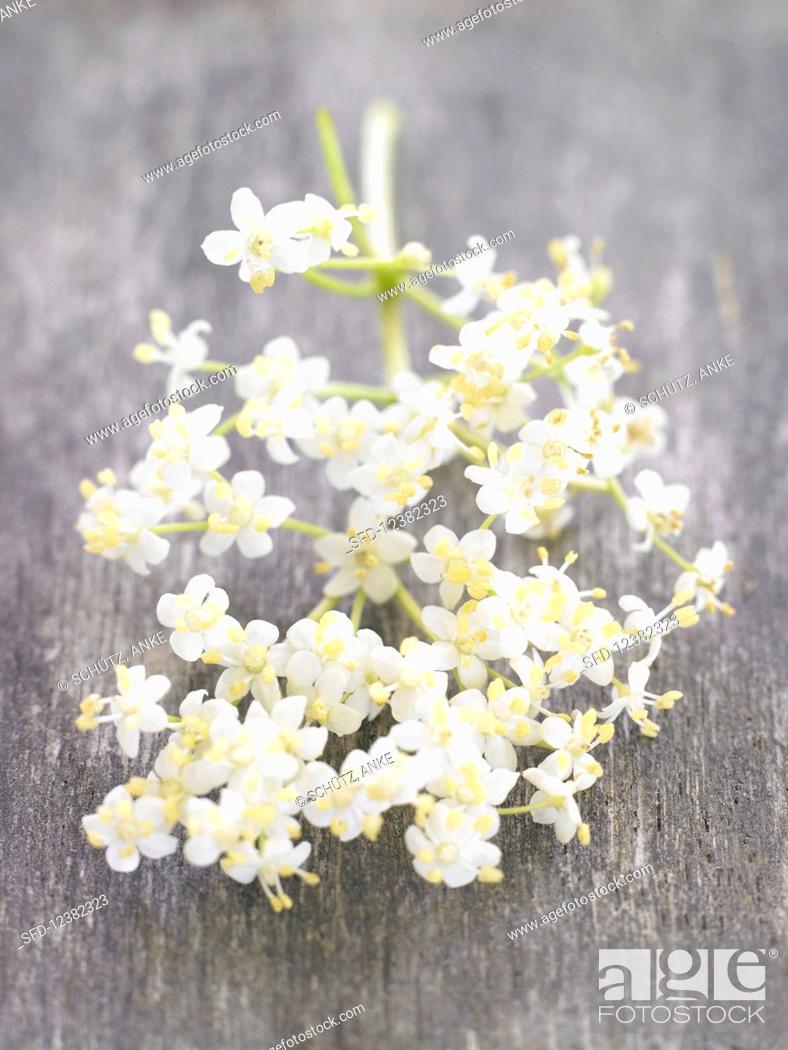 Stock Photo: Elderflowers on the stem.