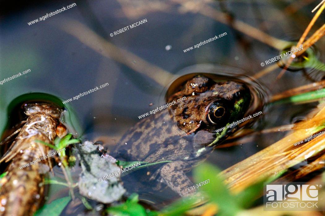 Stock Photo: Mink frog (Rana septentrionalis).