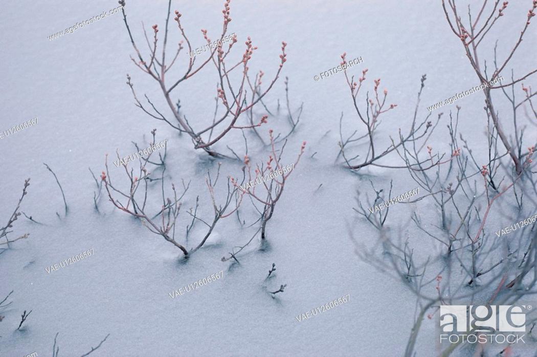 Stock Photo: Twigs In Snow.