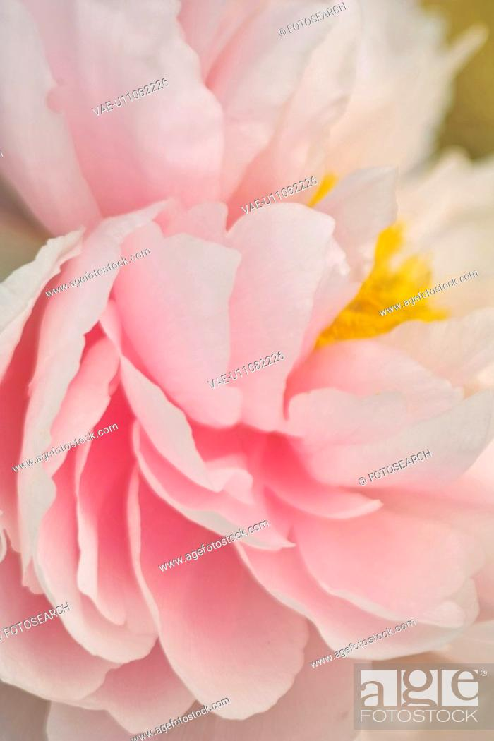 Stock Photo: Camellia.