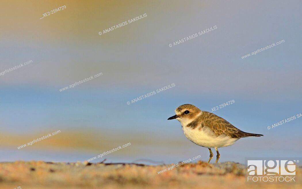 Stock Photo: Kentish Plover (Charadrius alexandrinus), Crete.