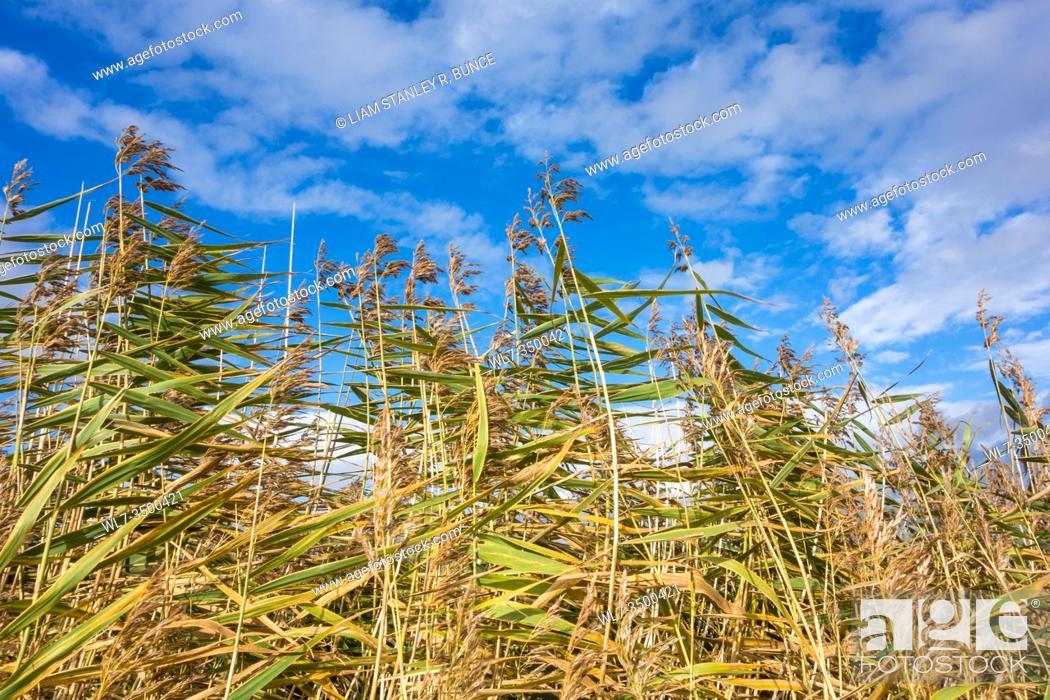 Stock Photo: Reeds against cloudy blue sky, Newport Wetlands Wales UK. October 2019.