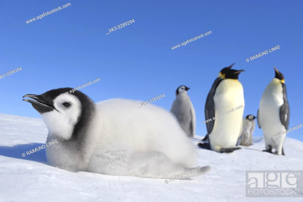Stock Photo: Emperor penguins, Aptenodytes forsteri, Chick is Lying on Ice, Snow Hill Island, Antartic Peninsula, Antarctica.