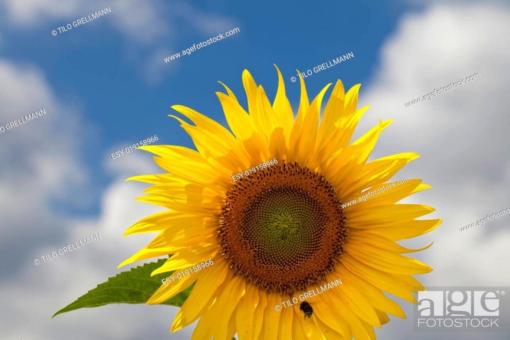 Stock Photo: Sonnenblume mit Hummel.