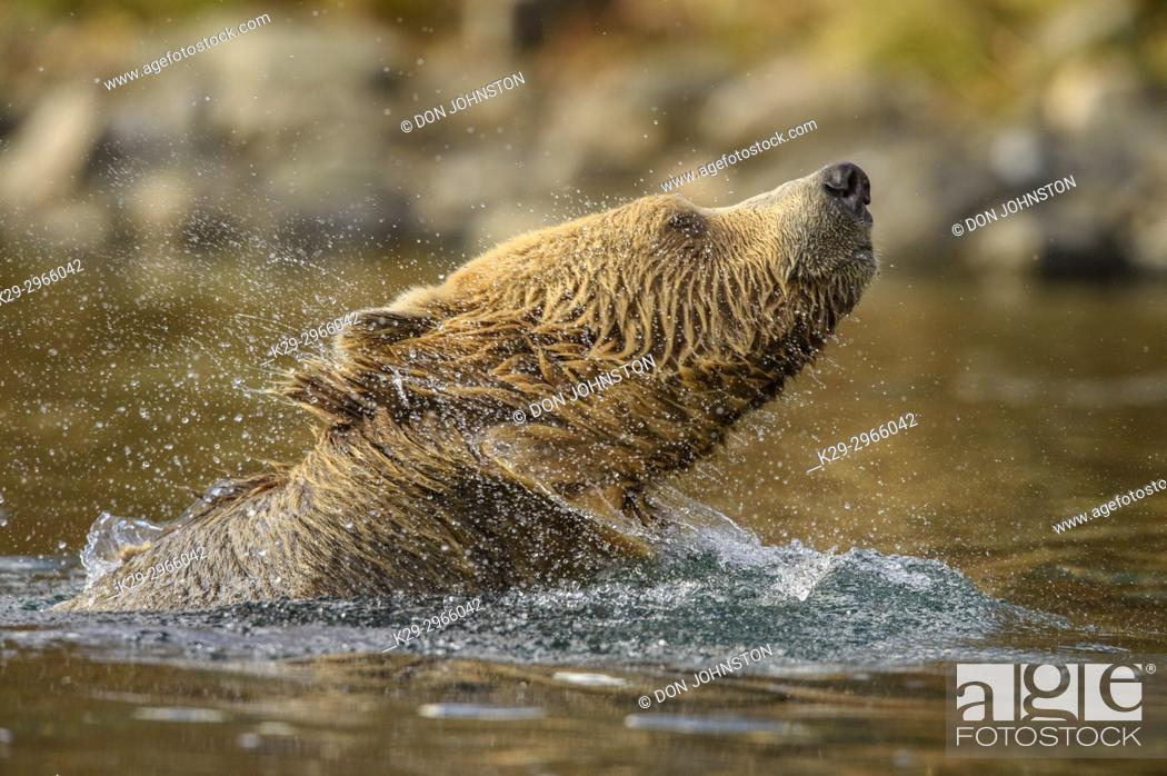 Stock Photo: Grizzly bear (Ursus arctos)- Shaking water from fur in the Chilko River, Chilcotin Wilderness, BC Interior, Canada.