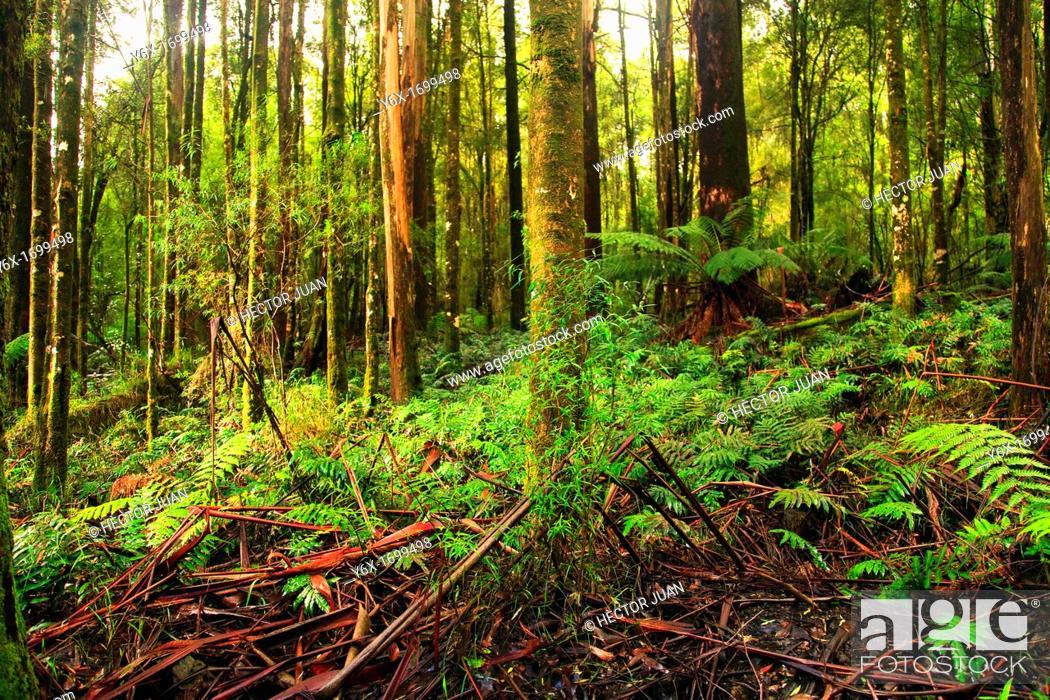 Stock Photo: Otway National Park rainforest.