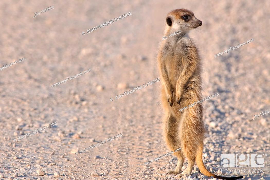 Stock Photo: Meerkat, Suricata suricatta, Kgalagadi Transfrontier Park, Northern Cape, South Africa.