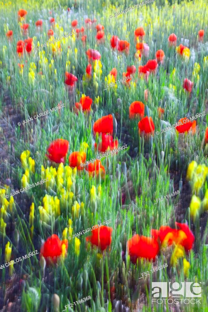 Stock Photo: Meadow in spring, La Serena, Badajoz province, Extremadura, Spain.