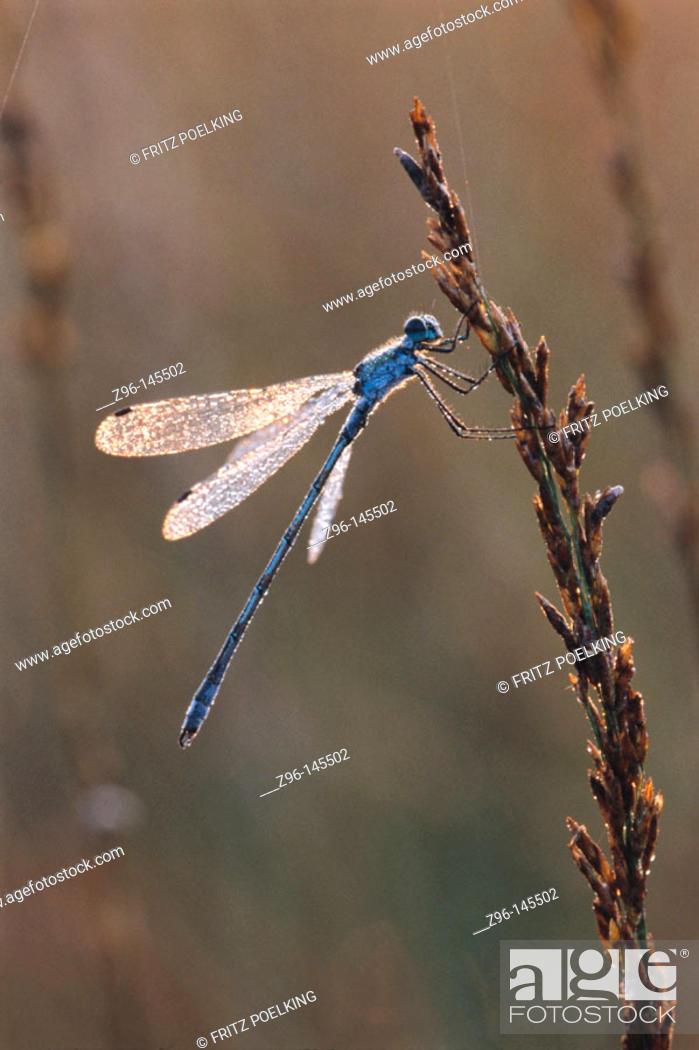 Stock Photo: Emerland Damselfly (Lestes sponsa). Germany.