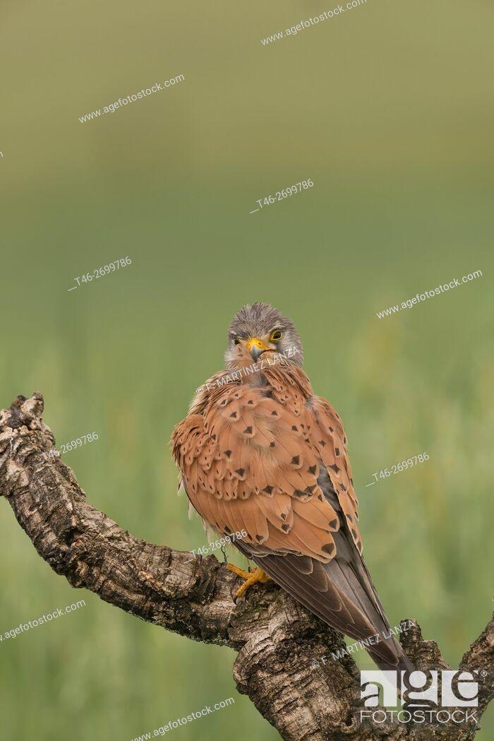 Stock Photo: kestrel (Falco tinnunculus), Photographed in Calera y Chozas Toledo.