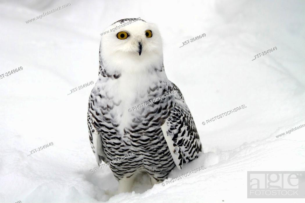 Stock Photo: Female Snowy Owl (Bubo scandiacus). Unlike many other owls, the snowy owl is diurnal, hunting during the day Photographed in the Arctic region, Finland.