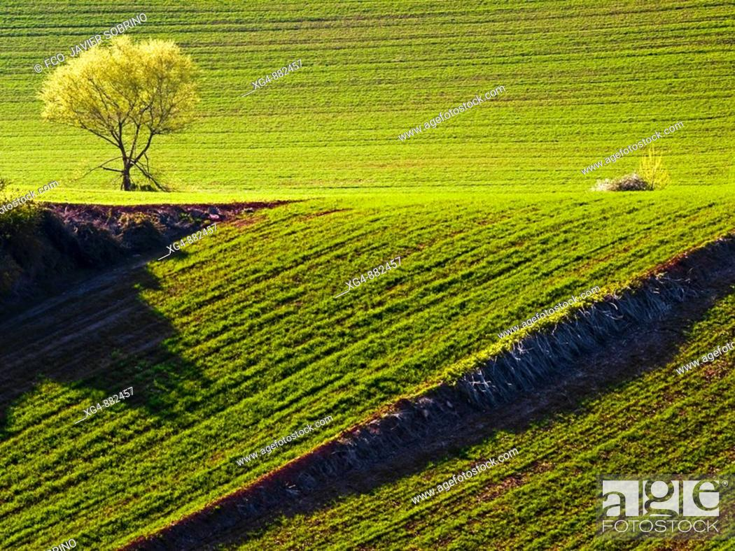 Stock Photo: Spring wheat fields around Berceo - Rioja Alta - La Rioja - Spain.