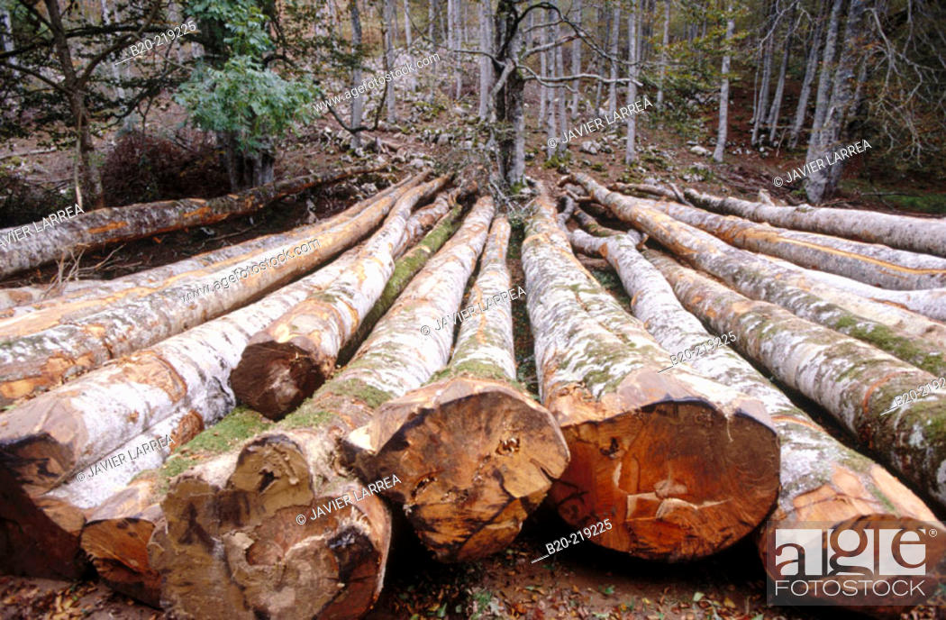 Stock Photo: Deforestation. Irati Forest. Navarre. Spain.