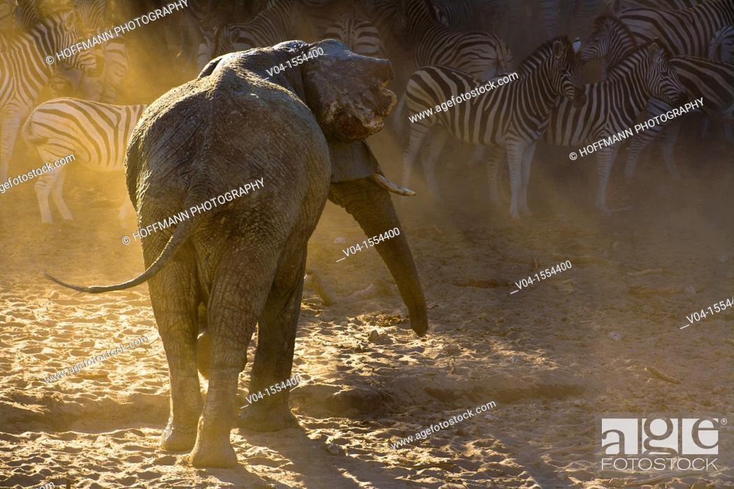 Imagen: An adult african elephant (Loxodonta africana) chasing away a herd of Burchell's zebras (Equus burchelli), Botswana, Africa.