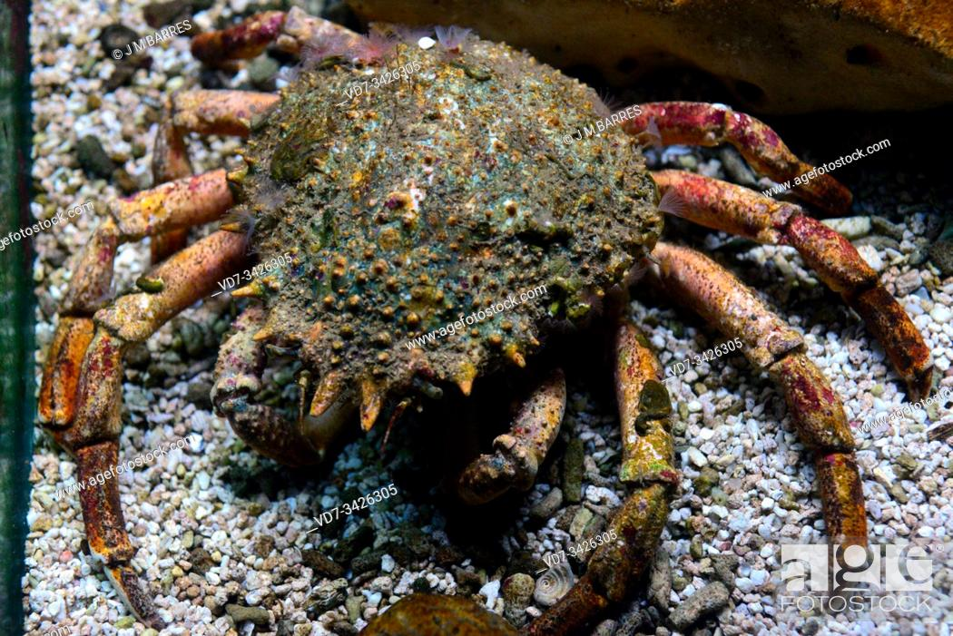 Photo de stock: Spiny spider crab (Maja squinado) is an edible crab native to eastern Atlantic Ocean and Mediterranean Sea.