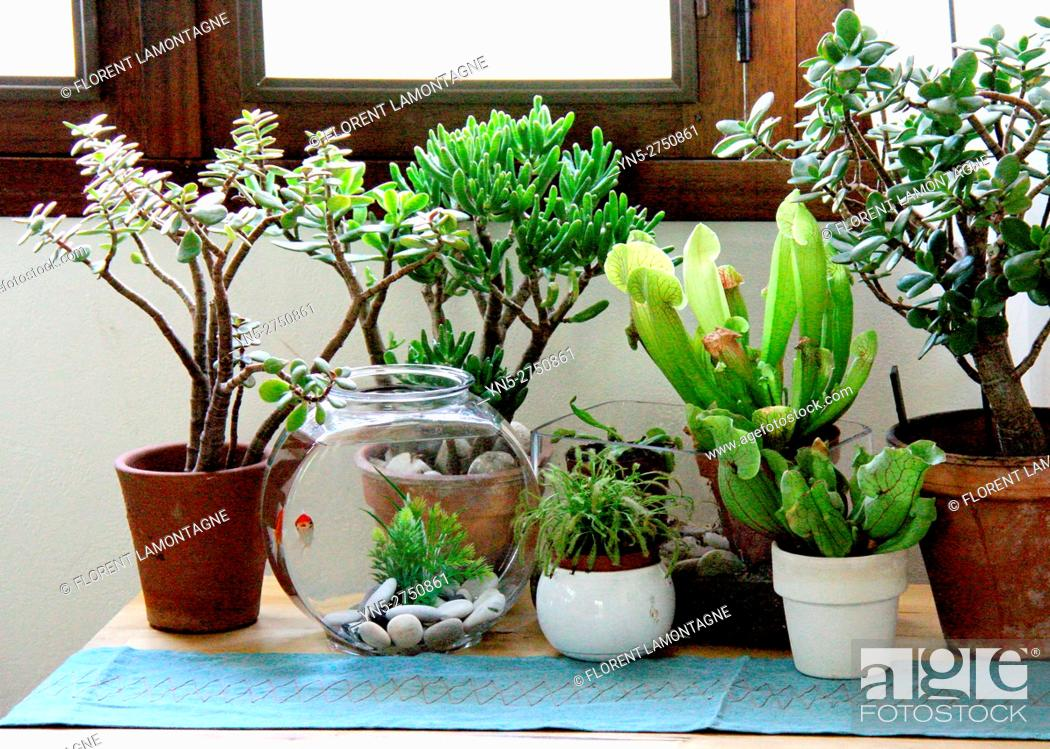 Stock Photo: Ambiance of different carnivorous plants in pot indoor.
