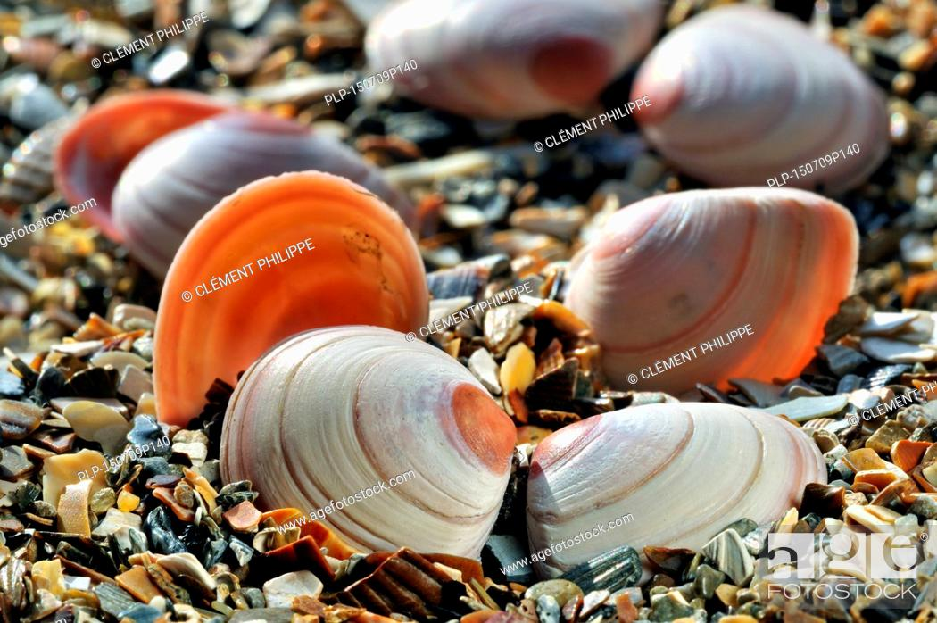 Imagen: Baltic macoma / Baltic clam / Baltic tellin (Macoma balthica) shells washed on beach.