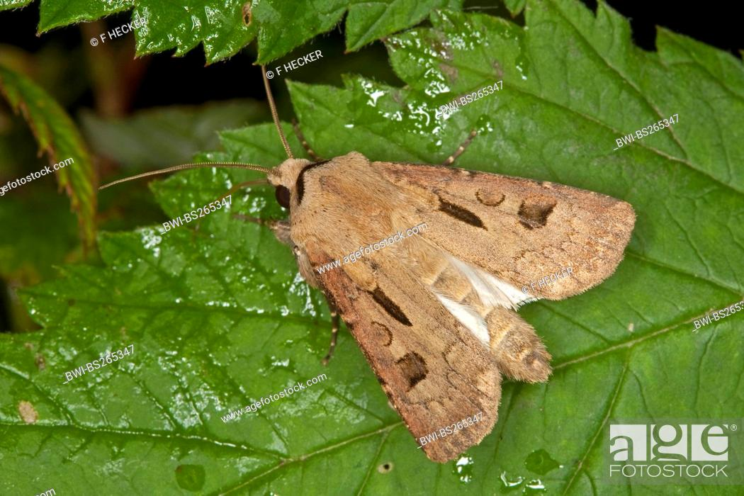 Stock Photo: heart and dart moth Agrotis exclamationis, sitting on a leaf, Germany.