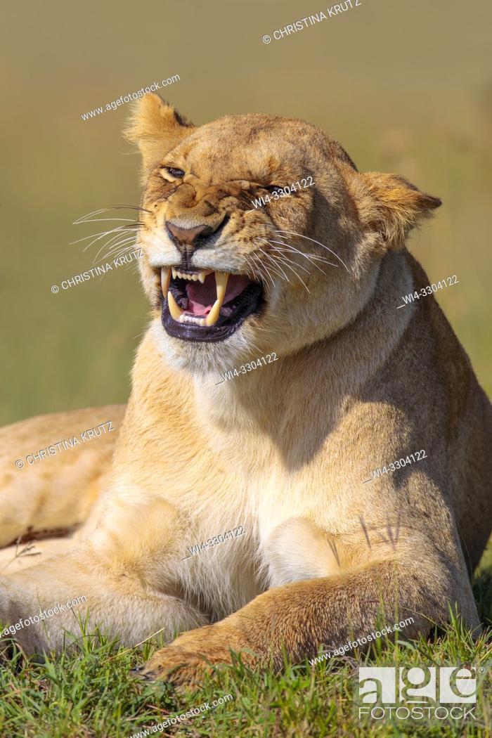 Stock Photo: African Lion (Panthera leo) snarling, Maasai Mara National Reserve, Kenya, Africa.