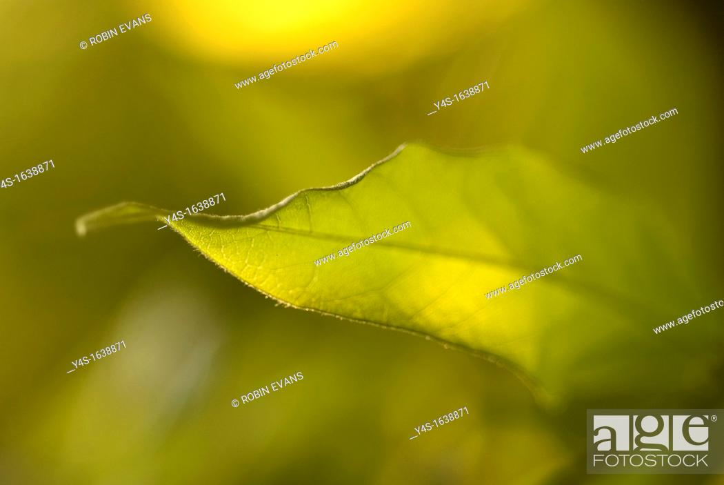Stock Photo: The beautiful form of a leaf glowing in Spring sunshine.