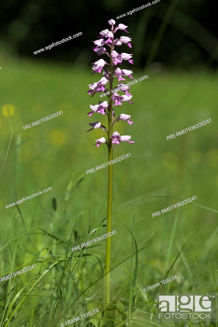 Imagen: Military orchid, Orchis militaris / Helm-Knabenkraut, Orchis militaris.