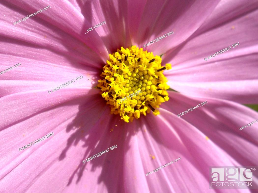 Stock Photo: Cosmea flower closeup.