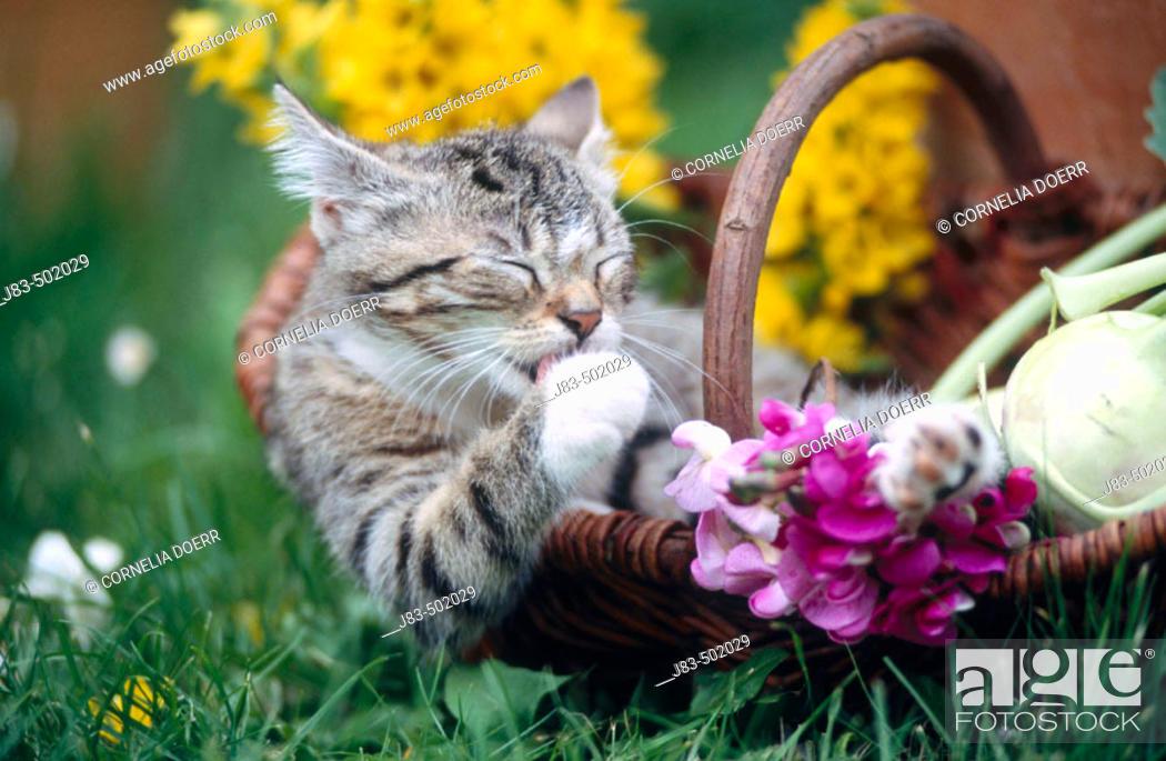Stock Photo: Kitten in basket.