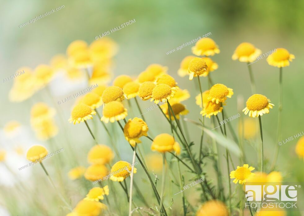 Stock Photo: Tranquil summer nature scene, close up of yellow flowers in sunlight.