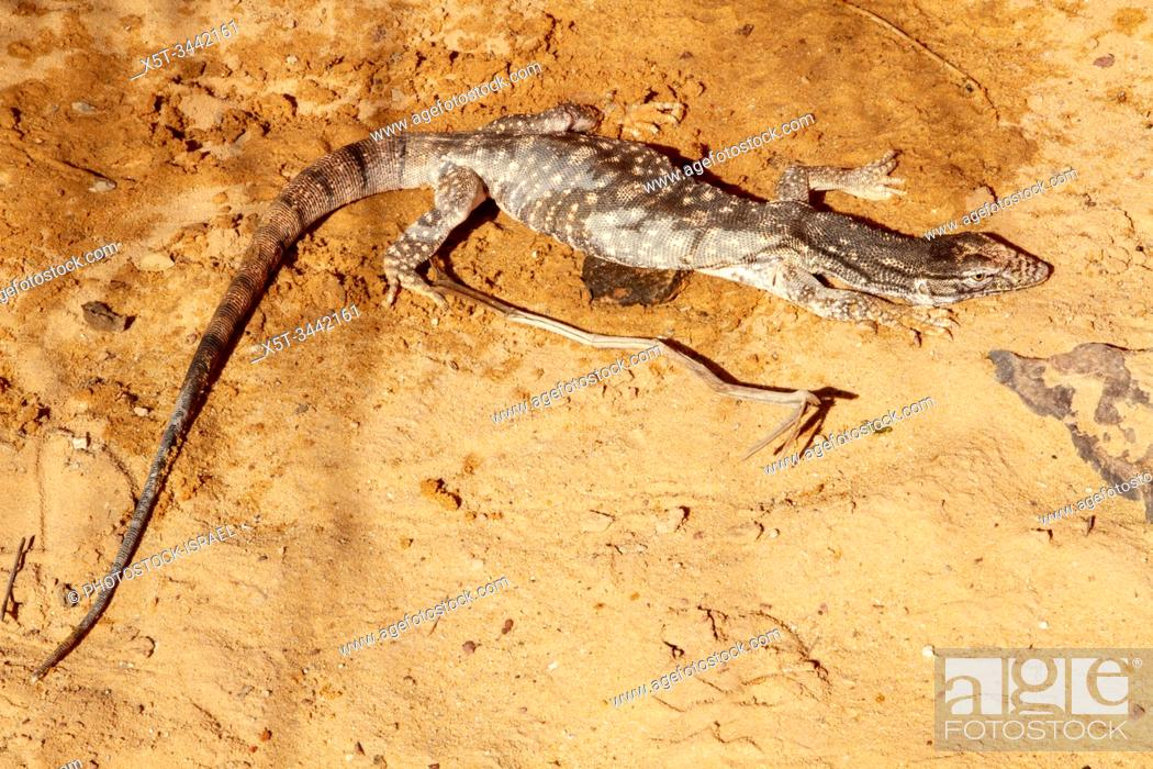 Stock Photo: Desert monitor (Varanus griseus). a species of monitor lizards of the order Squamata found living throughout North Africa and Central and South Asia.