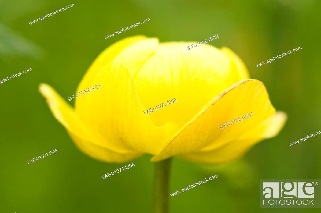 Stock Photo: wiesenblume, alfred, bloom, bloomer, blooming, blooms.
