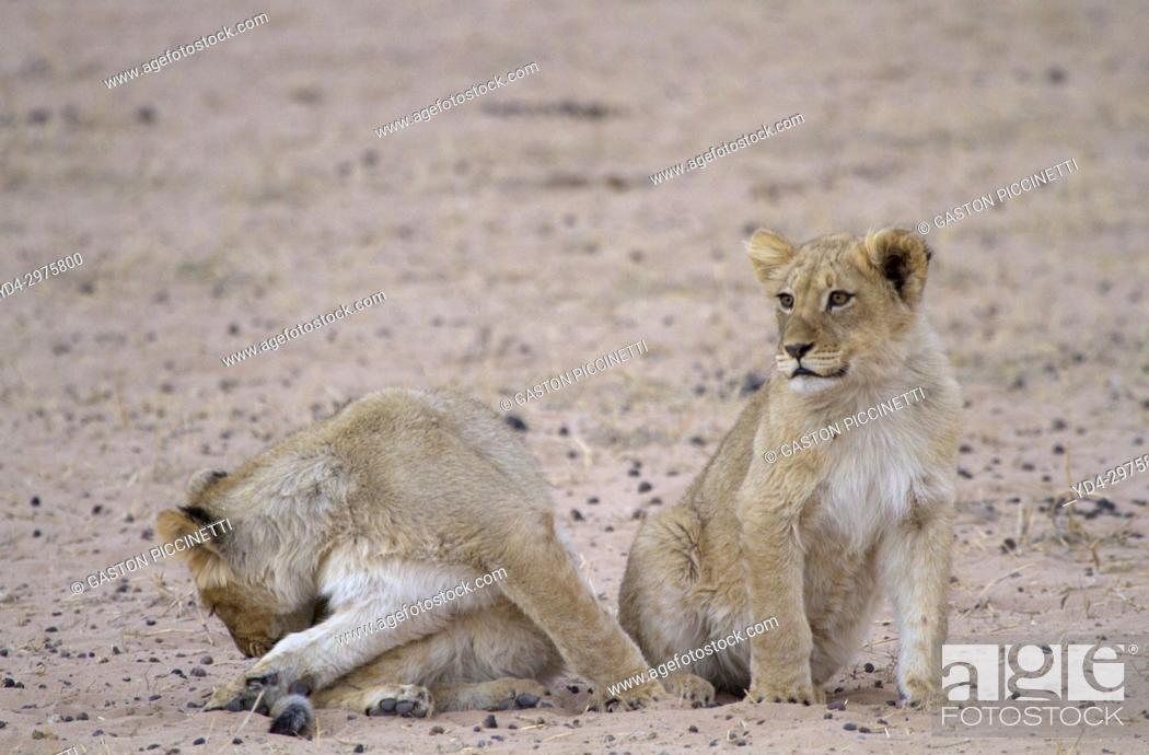 Stock Photo: African Lion (Panthera leo) - Cubs, Kgalagadi Transfrontier Park, Kalahari desert, South Africa.