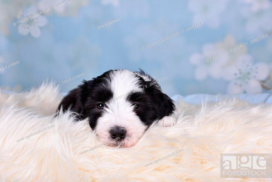 Imagen: Bearded Collie Puppy.