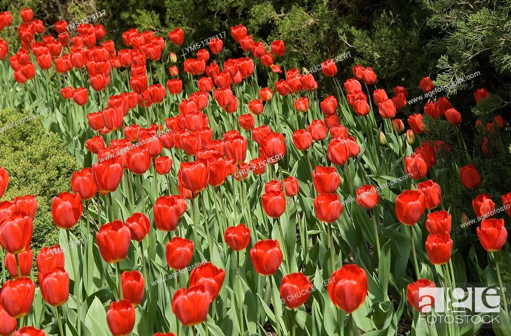 Stock Photo: Red spring tulips.