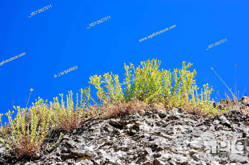 Stock Photo: Rock tea (Jasonia glutinosa or Chiliadenus glutinosus) is a perennial and aromatic herb native to Spain, Portugal, France and Morocco.