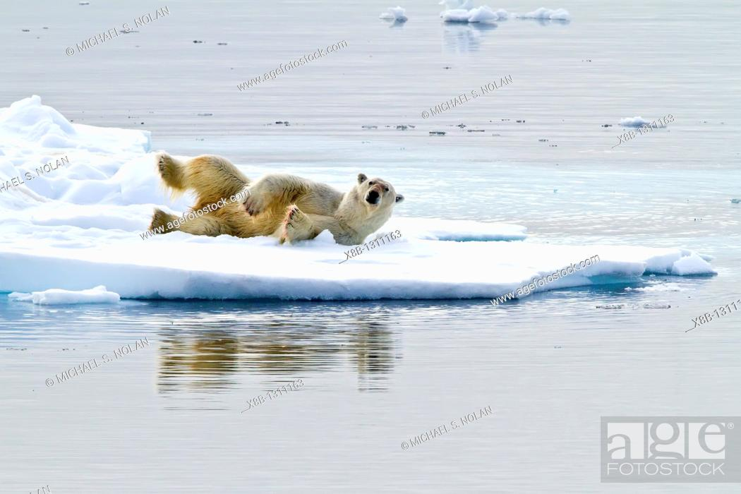 Stock Photo: Adult polar bear Ursus maritimus feeding on seal carcass on multi-year ice floes off the coast of Edgeøya Edge Island in the Svalbard Archipelago.
